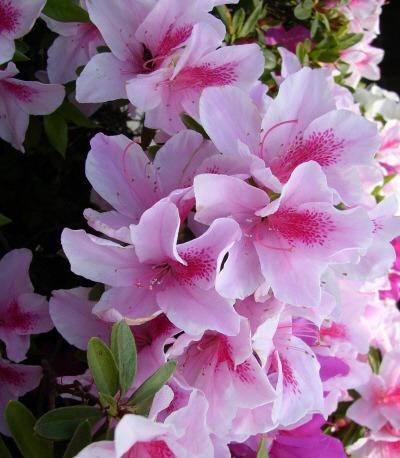 リンパマッサージスクール大阪にある花ツツジ